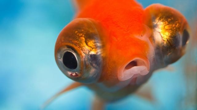 Goldfish face